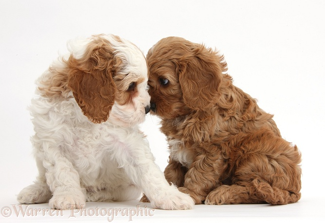Cute red and red-and-white Cavapoo puppies, 5 weeks old, staring lovingly into each other's eyes, white background