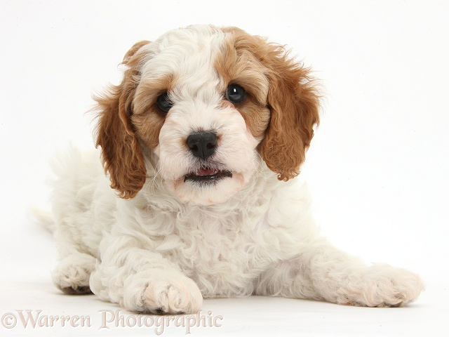 Cute red-and-white Cavapoo puppy, 6 weeks old, lying with head up, white background