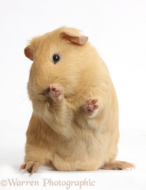 Yellow Guinea pig looking bashful, white background