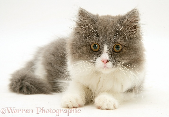 Grey-and-white kitten lying with head up, white background