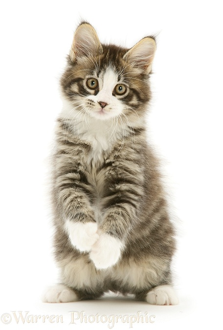 Tabby-and-white Maine Coon kitten, with raised paws photo ... Tabby Maine Coon Kitten