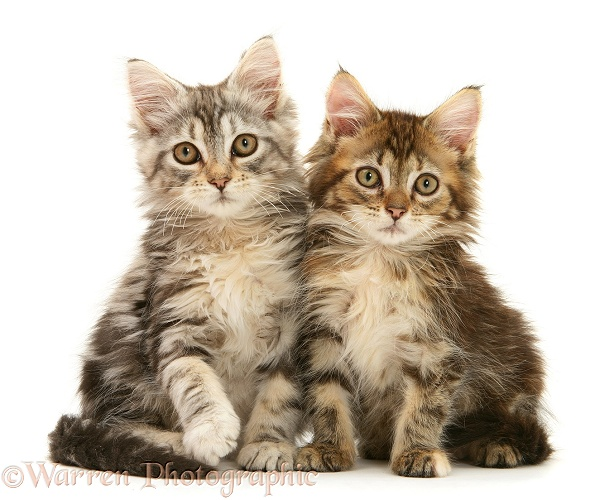 Tabby Maine Coon kittens photo - WP39413 Tabby Maine Coon Kitten