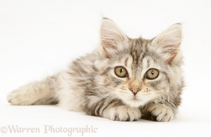 Tabby Maine Coon kitten lying, white background