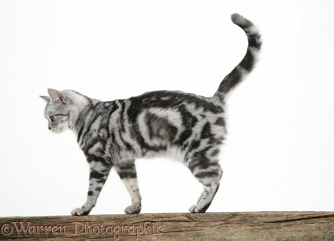 Silver tabby cat, Zelda, walking along on a fence, white background