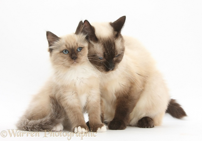 Birman-cross mother cat snuggling up to her kitten, white background