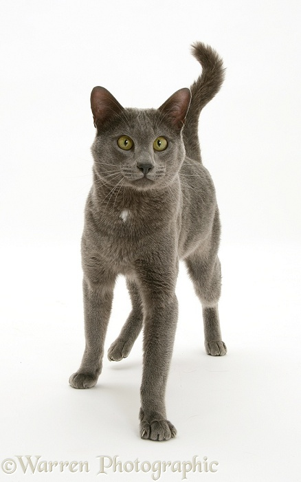 Blue Tonkinese male cat, Del, strutting purposefully forward, white background