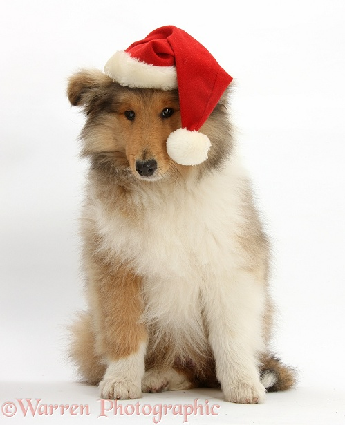 Rough Collie pup, Laddie, 14 weeks old, wearing a Father Christmas hat, white background