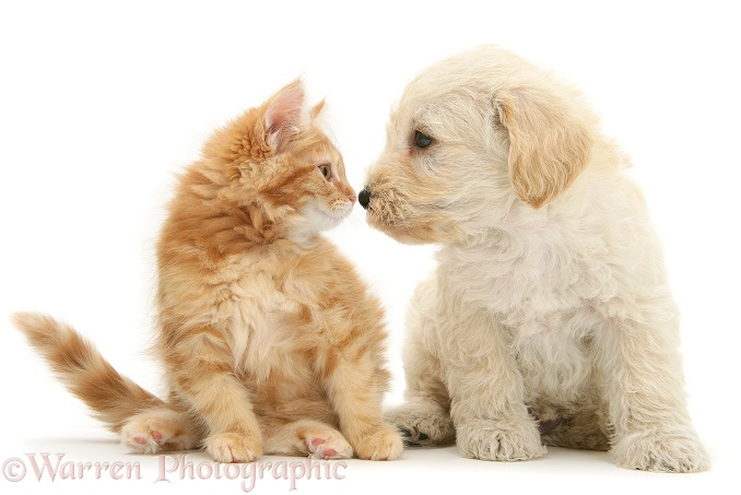 Woodle (West Highland White Terrier x Poodle) pup and ginger Maine Coon kitten, nose-to-nose, looking lovingly at each other, white background