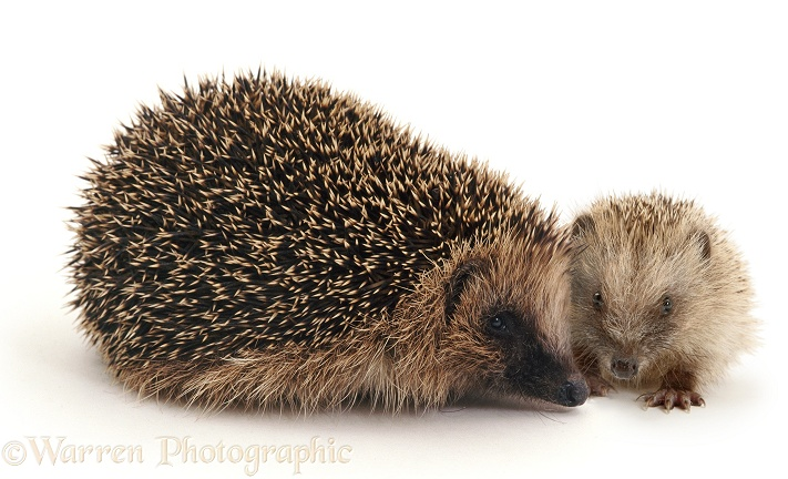Mother and baby European Hedgehog (Erinaceus europaeus), white background