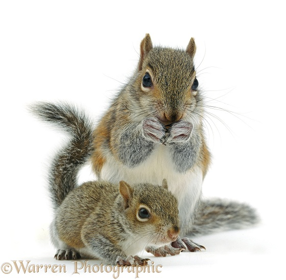 Grey Squirrel (Sciurus carolinensis) and baby, white background