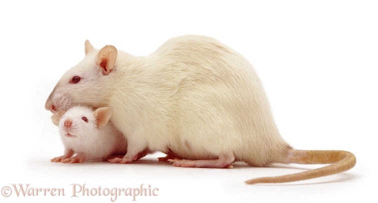 Female Himalayan Rat (Rattus sp.) with baby, 5 weeks old, white background