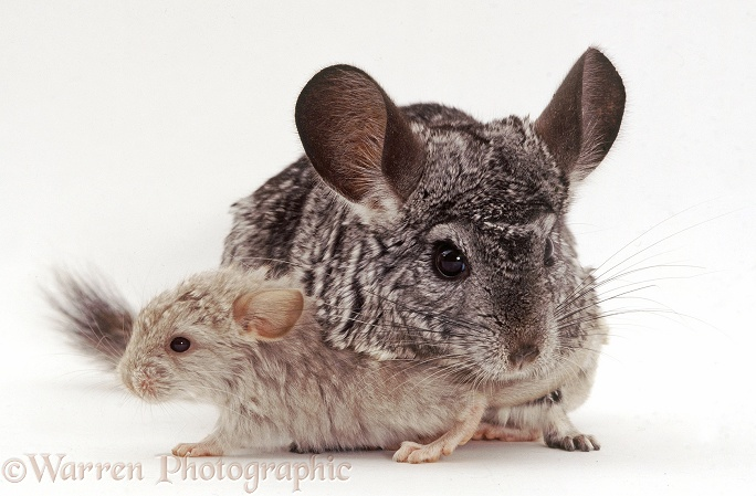 Chinchilla (Chinchilla lanigera) with baby.  High Andes, white background