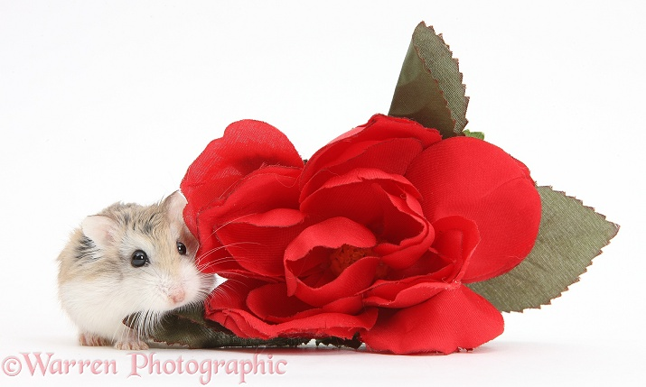 Roborovski Hamster (Phodopus roborovskii) and red rose, white background