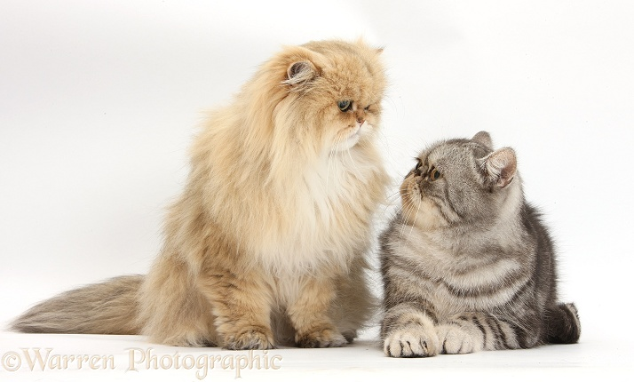 Golden Chinchilla Persian female cat, Jazzy, 6 years old, and Silver tabby Exotic male cat, Bugsie, 5 years old, staring lovingly into each other's eyes, white background