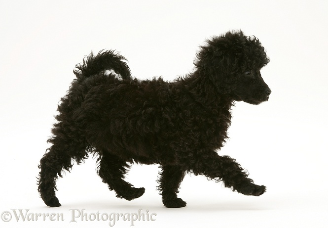 Black Miniature Poodle, trotting across, white background