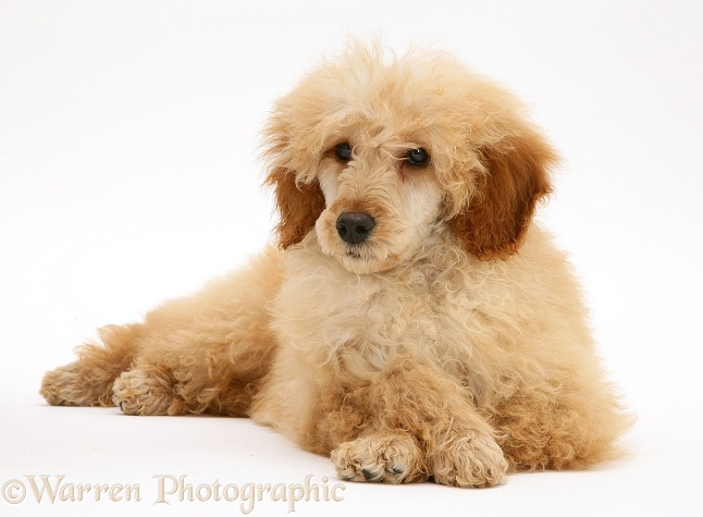 Apricot Miniature Poodle, lying with head up and paws crossed, white background