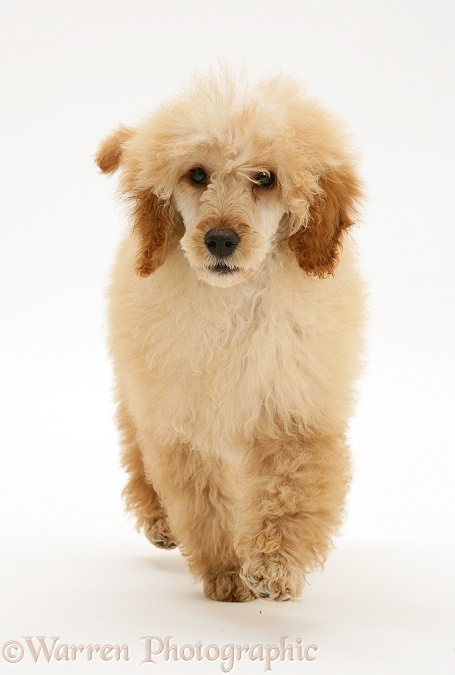 Apricot Miniature Poodle, trotting forward, white background