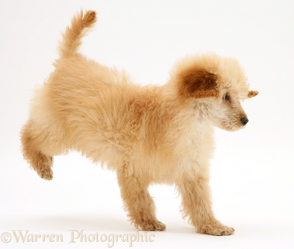 Apricot Miniature Poodle, trotting across, white background