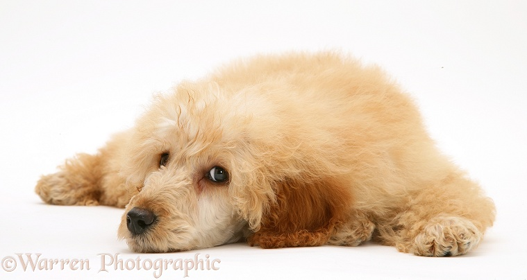 Apricot Miniature Poodle, lying with chin on the floor, white background