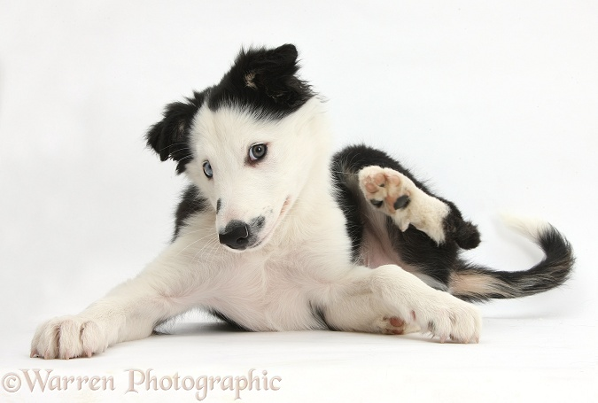 Black-and-white Border Collie puppy scratching, white background