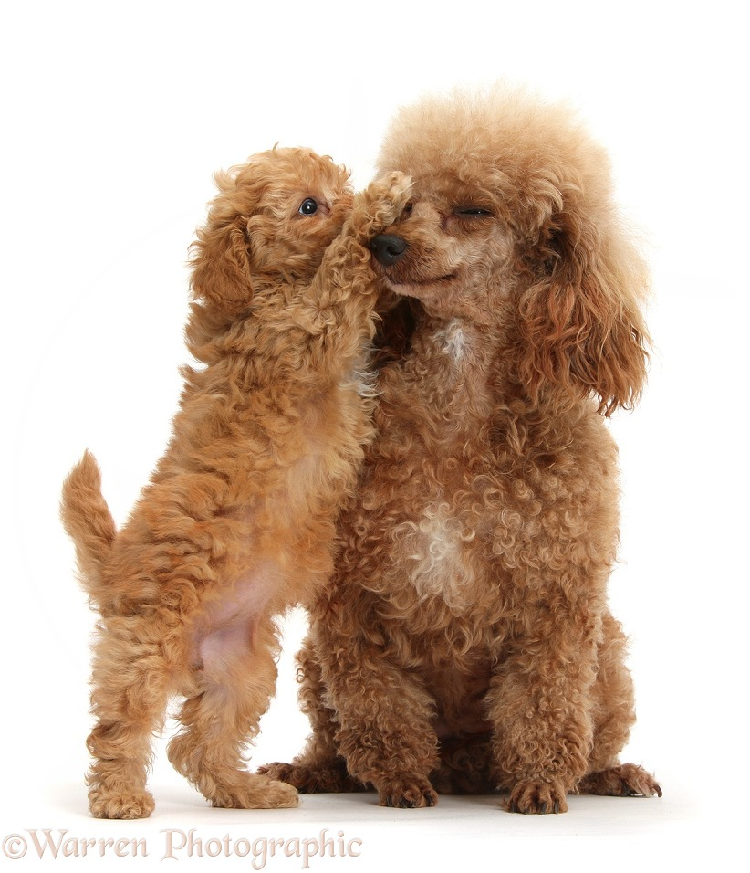 Red Toy Poodle puppy, 8 weeks old, reaching up to give his mother a kiss, white background