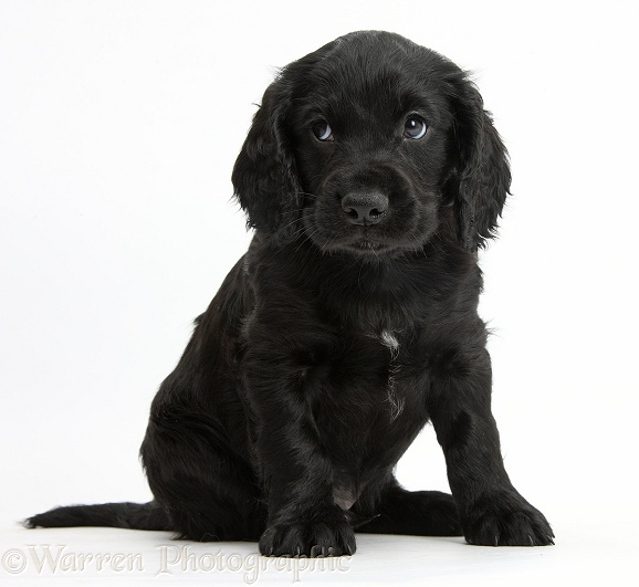 Black Cocker Spaniel puppy sitting looking to the side, white background