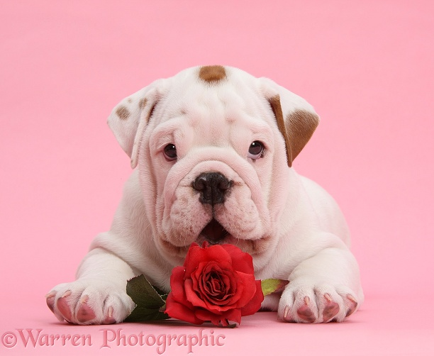 Mostly white Bulldog puppy, with red rose on pink background