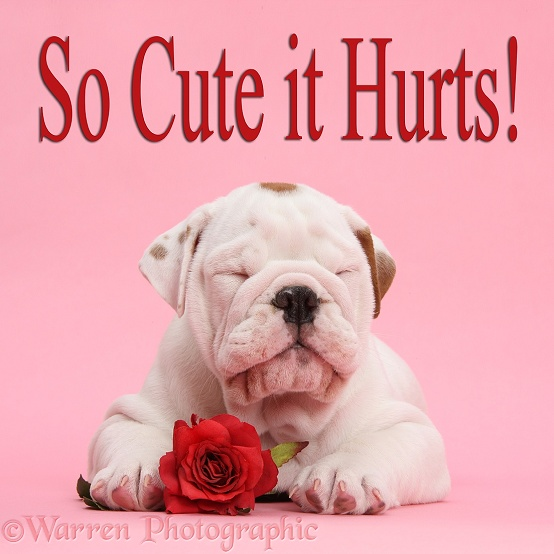 Sleepy mostly white Bulldog puppy, with red rose on pink background