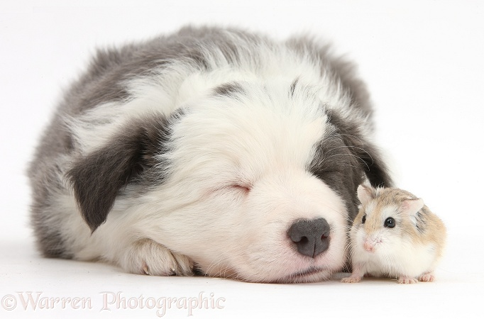 Cute sleeping Border Collie puppy with Roborovski Hamster (Phodopus roborovskii), white background