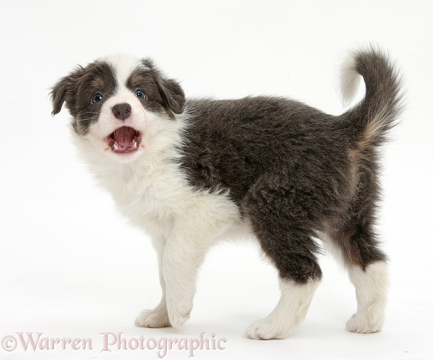 Blue-and-white Border Collie pup, barking, white background