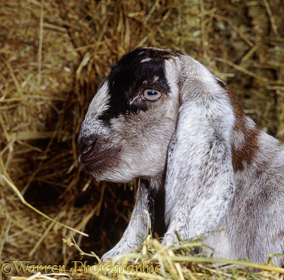 Anglo-Nubian goat kid, 1 week old