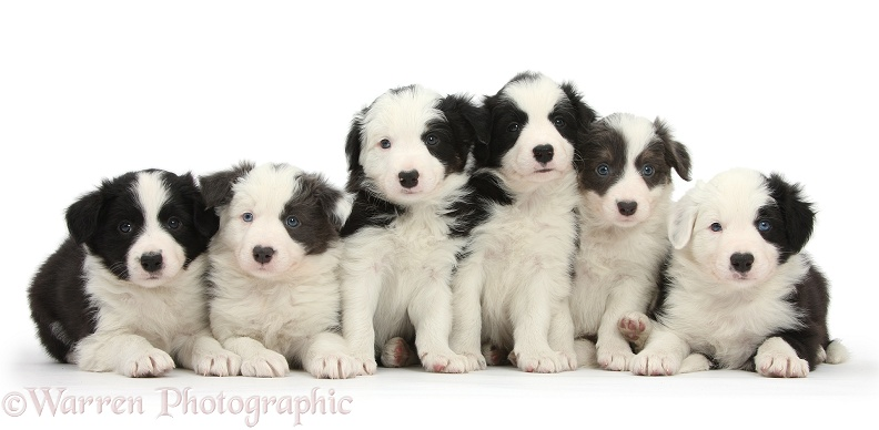 Six Border Collie pups, 4 black-and-white and 2 blue-and-white, white background