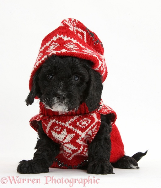 Cute black Cavapoo puppy, 6 weeks old, wearing hand knitted Christmas hat and jersey, white background