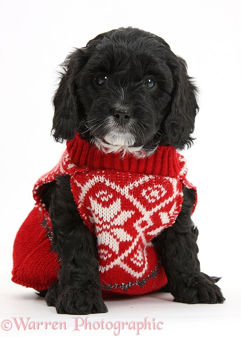 Cute black Cavapoo puppy, 6 weeks old, wearing hand knitted Christmas jersey, white background