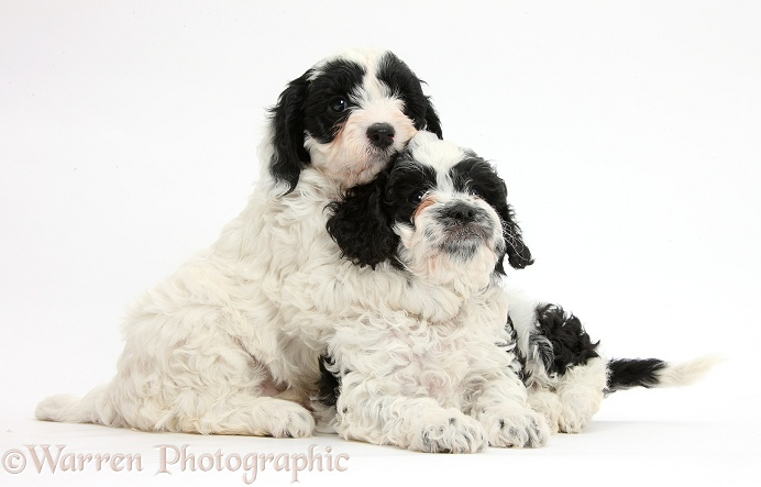 Cute black-and-white Cavapoo puppies, 6 weeks old, one hugging the other, white background