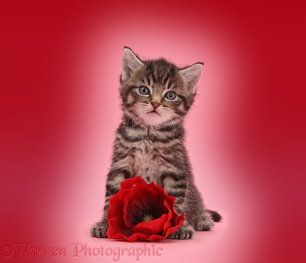 Cute tabby kitten, Fosset, 5 weeks old, with a red poppy flower on pink background