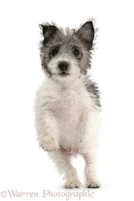 Jack Russell x Westie pup, Mojo, 12 weeks old, jumping up, white background