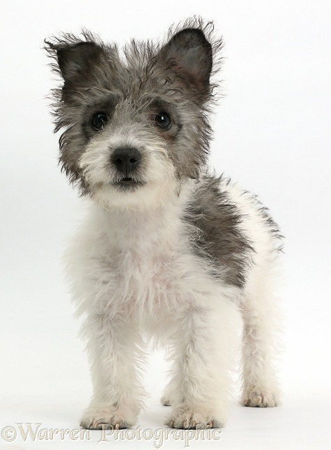 Jack Russell x Westie pup, Mojo, 12 weeks old, standing, white background