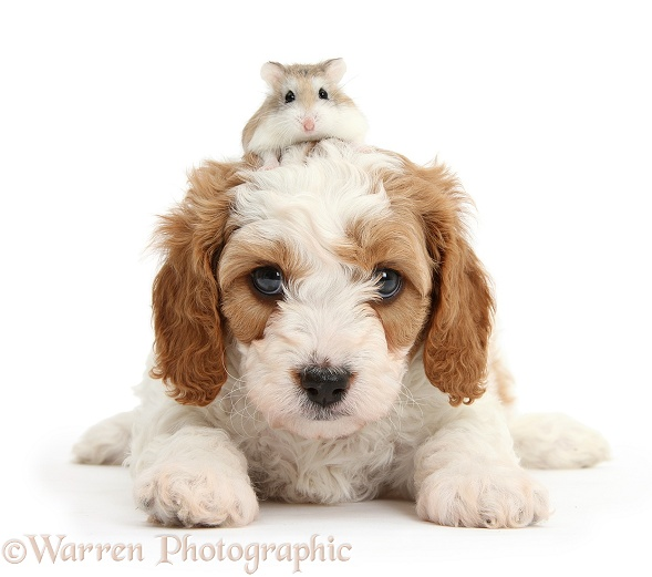 Cute red-and-white Cavapoo puppy, 5 weeks old, and Roborovski Hamster, white background