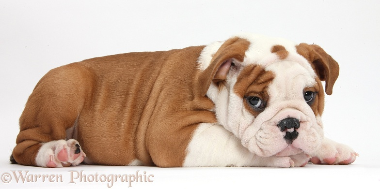 Bulldog puppy with chin on paws, white background