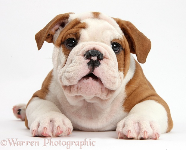 Bulldog puppy lying with head up, white background