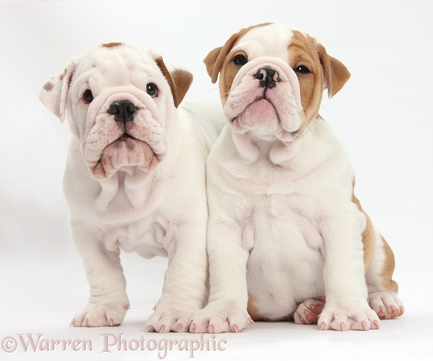 Two bulldog puppies sitting, white background