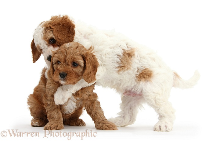 Cute red and red-and-white Cavapoo puppies, 5 weeks old, hugging, white background
