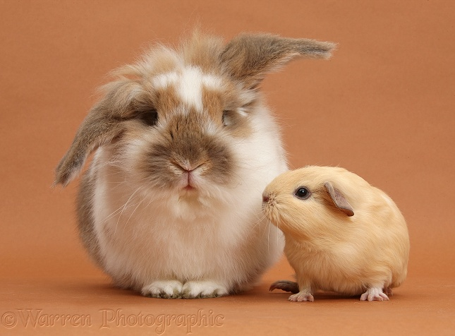 Brown-and-white rabbit and baby yellow Guinea pig on brown background
