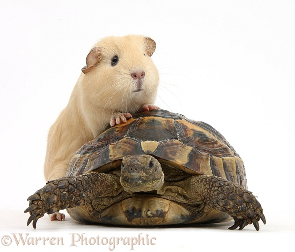 Young yellow Guinea pig with feet up on a tortoise, white background