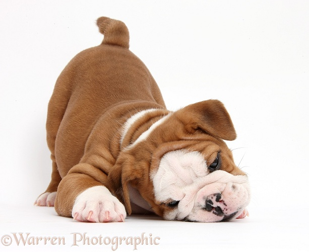 Cute playful bulldog pup, 5 weeks old, in play-bow stance, white background