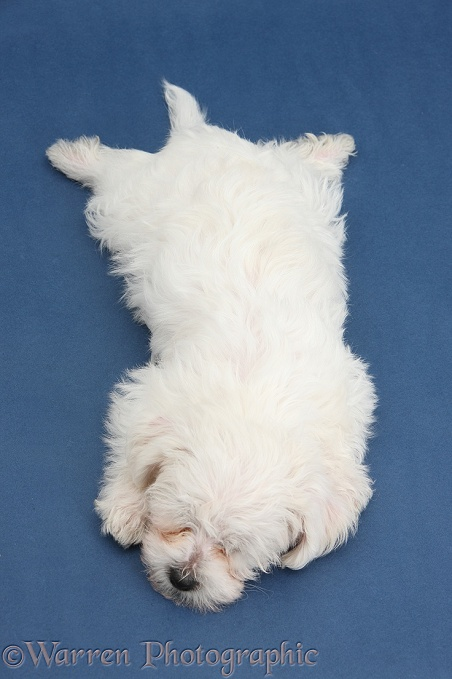 Cute white Bichon Frise x Yorkshire Terrier dog puppy, Georgie, 8 weeks old, sleeping stretched out on blue background