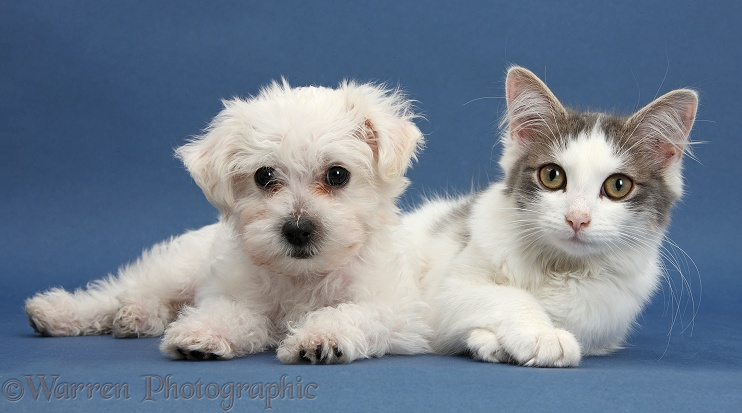 Cute white Bichon Frise x Yorkshire Terrier dog puppy, Georgie, 8 weeks old, with silver-and-white female cat, Dottie, 5 months old, on blue background