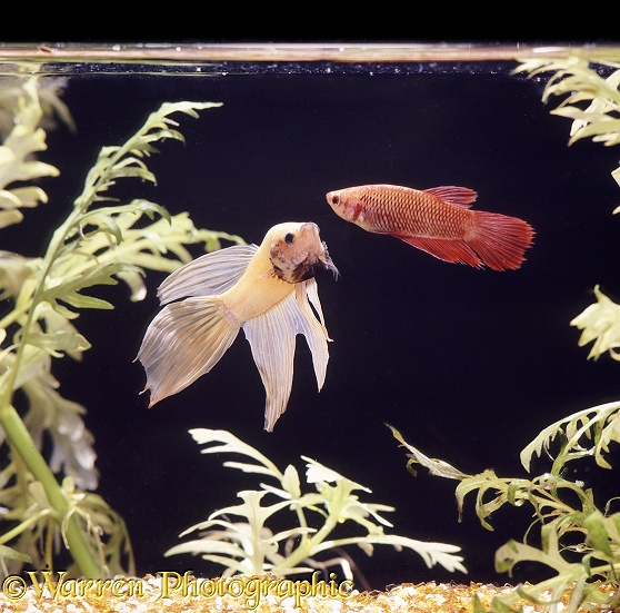 Siamese Fighting Fish (Betta splendens) phantom male displaying to a female.  Malaysia and Thailand