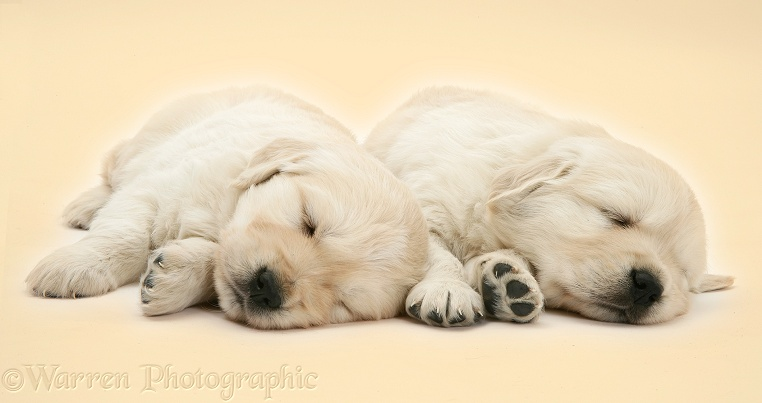 Two sleepy Golden Retriever pups, 6 weeks old, on yellow background